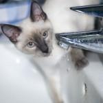 Katze trinkt Wasser am Wasserhahn