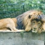 Liegender Löwe im Zoo beobachtet die Besucher